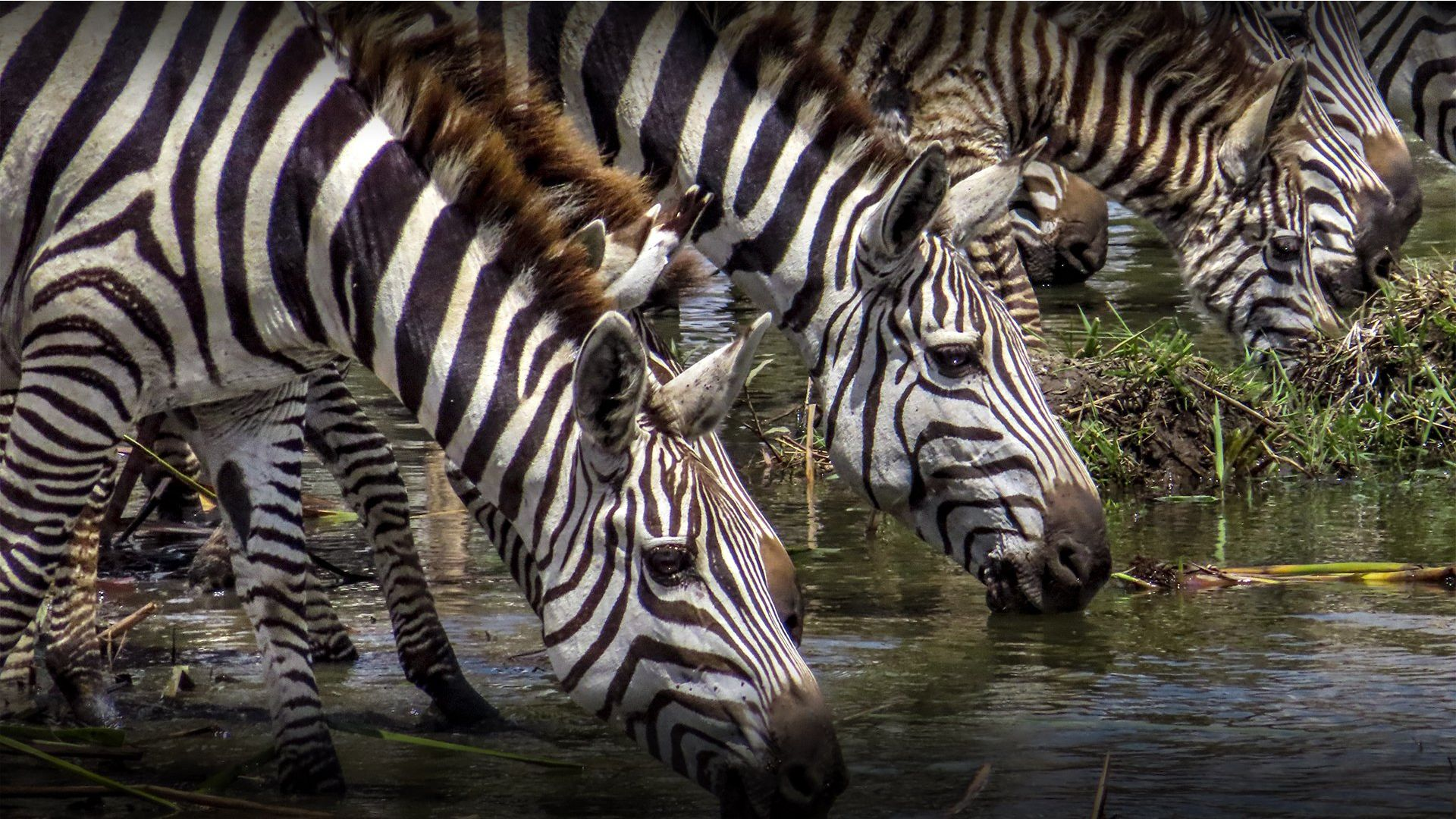 A herd of zebras at a watering hole in Nairobi National Park, Kenya taken by Georgina Goodwin.